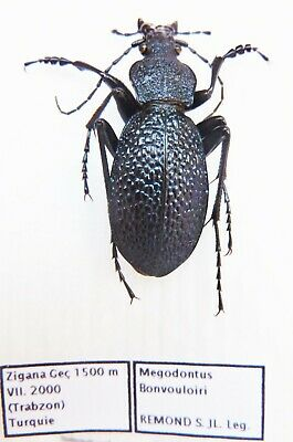 Carabus megodontus bonvouloiri (male A1) from TURKEY