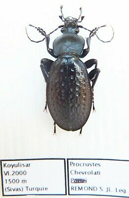 "Carabus procrustes chevrolati as ""portei"" (male A1) from TURKEY"