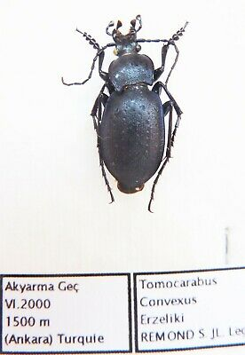 Carabus tomocarabus convexus erzeliki (male A1) from TURKEY