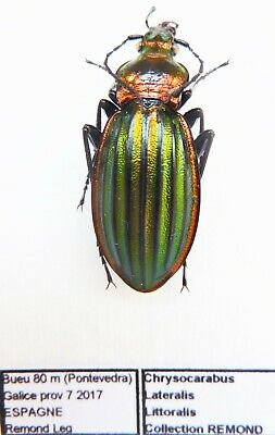 Carabus chrysocarabus lineatus lateralis littoralis (female A1) from SPAIN