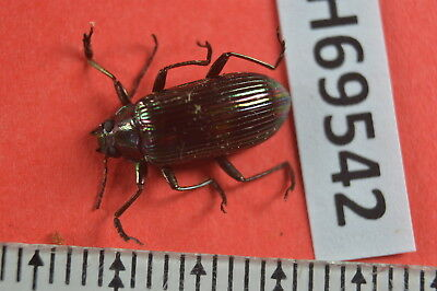 TH 69542 Unmounted beetle insect Vietnam