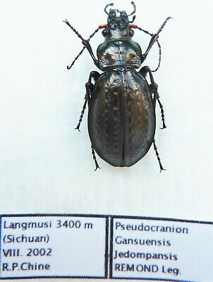 Carabus pseudocranion gansuensis jedompansis (female A1) from CHINA (Carabidae)