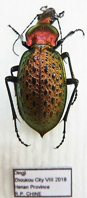 Carabus coptolabrus smaragdinus honanensis (female A1) from CHINA (Carabidae)