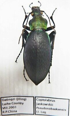 Carabus coptolabrus jankowskii pseudosobaekensis (female A1) from CHINA