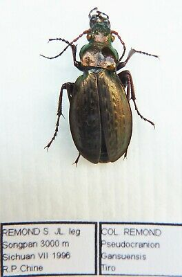 Carabus pseudocranion gansuensis tiro (female A1) from CHINA (Carabidae)