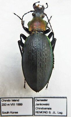 Carabus coptolabrus jankowskii chindoensis (female A1) from SOUTH KOREA