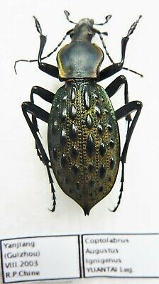 Carabus coptolabrus ignigena (male A1) from CHINA (Carabidae)