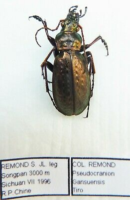 Carabus pseudocranion gansuensis tiro (male A1) from CHINA (Carabidae)
