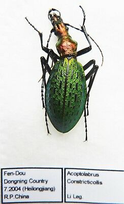 Carabus acoptolabrus constricticollis (female A1) from CHINA (Carabidae)