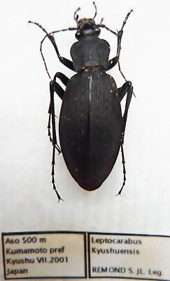 Carabus leptocarabus kyushuensis  (female) from JAPAN (Carabidae)