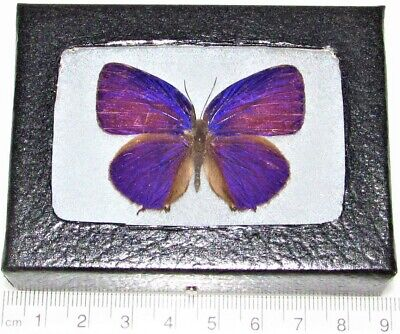 Real Framed Butterfly Pink Purple Arhopala Indonesia I2