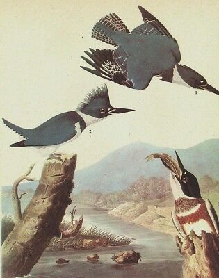 "Birds of america Audubon,""lithograph art  print 30.5 X 23CM   BELTED KINGFISHER"