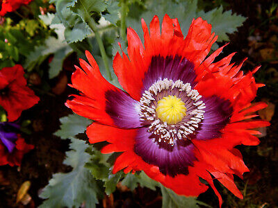 200 Organic JIMI'S FLAG POPPY Scarlet Red Lavender & Purple Papaver Flower Seeds