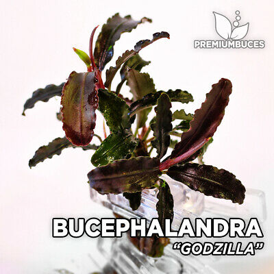 Bucephalandra sp. RARE Species - PORTION Live aquarium plant terrarium fish tank