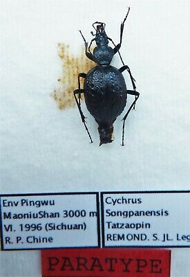 Cychrus ambulans tatzaopin PT (female A1) from CHINA (Carabidae)
