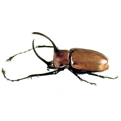 ONE REAL STAG BEETLE DORCUS REICHEI HANSTEINEI UNMOUNTED PACKAGED