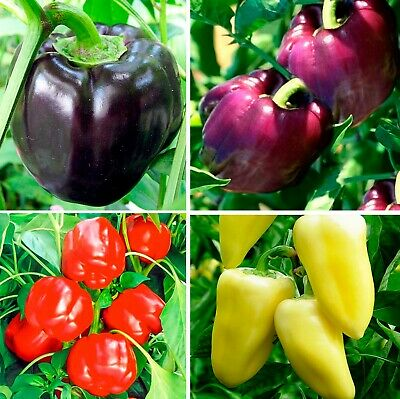 Seeds Sweet Bell Pepper Horse Bilozerka Oda Rainbow Red Yellow Organic Vegetable