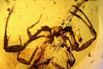 Burmese Amber, Insect Inclusion, Rare Partial Scorpion