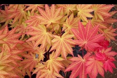 Acer Shirasawanum Aureum In 7cm Pot Ideal Bonsai Subject Eur 1015