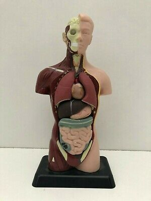 28cm Human Torso Body Organ Anatomy Model Removable Parts Medical Science
