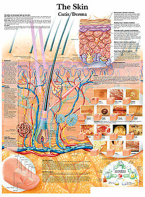 A3 Medical Poster - The Human Skin (Text Book Anatomy Pathology Doctor Picture)