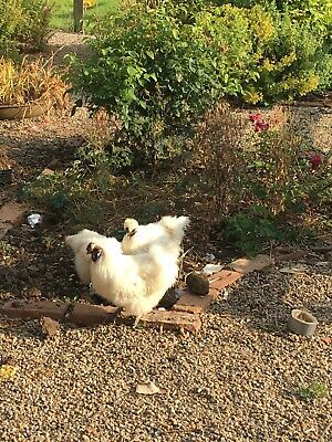 Pot luck of colours Pure Fertile Bantam Silkie Hatching Eggs Chickens x6