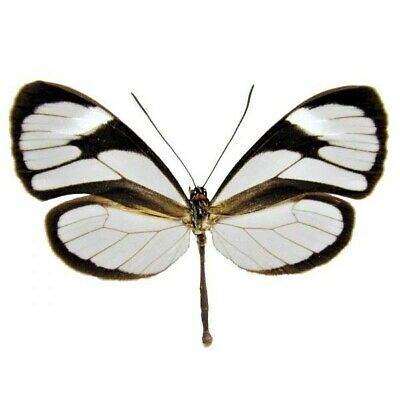 One Real Butterfly Ithomia Agnosia Clearwing Peru