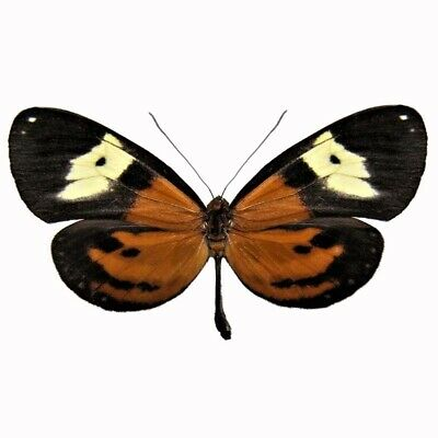 One Real Butterfly Napeogenes Duessa Orange Yellow Longwing Peru
