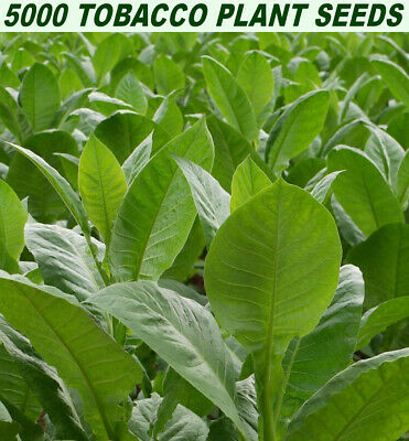 VIRGINIA TOBACCO PLANT 5000 SEEDS (Nicotiana Tabacum) GROW YOUR OWN TOBACCO!