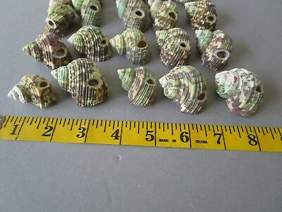 Green Turbo Shells W/ hole for Stringing 20 pc crafting Lot