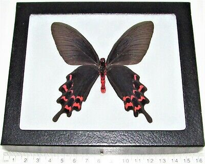 Real Framed Butterfly Red Pink Byasa Laos