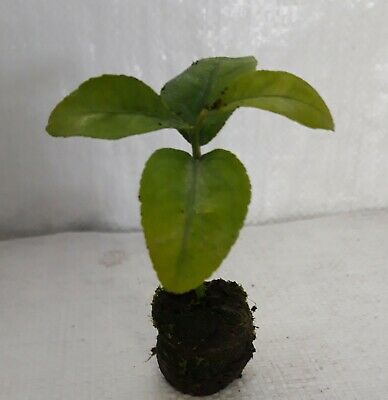 Grapefruit plant white in fitocella Real Photo of the plant