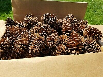 "Lot of 25 fresh Large Ponderosa Pine Cones 4"" - 5"" long. Wedding Decor, wreaths"