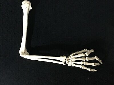 "Vintage Anatomically Correct Medical Model Right Arm Bone & Hand 28"" Jointed"