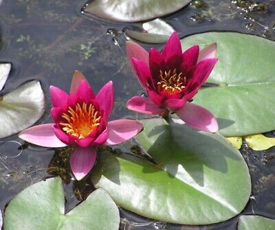 Frobeli Small Wine Red Small Pond / Patio /Balcony Tub Water Lily / Lillies
