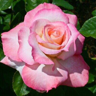 100Seeds Pink red Climbing Rose Seeds Perennial Flower Garden Decor Plant Seed