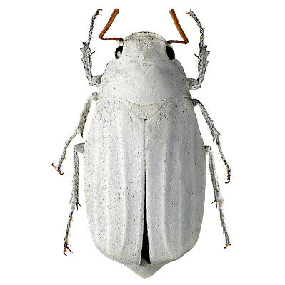 One Real White Scarab Beetle Lepidiota Stigma Unmounted Packaged Thailand