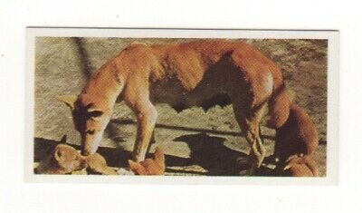 Australian tea trade card  1959 - Dingo and Pups