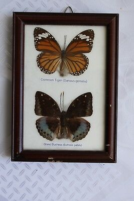 Pair of Real Framed Butterfly Display Rare Insect Taxidermy Preserved Dried