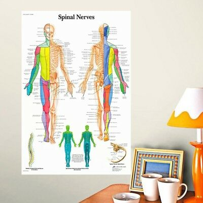 Muscle System Posters Silk Cloth Anatomy Chart Human Body Educational Decor Well