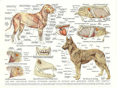 A3 Veterinary Poster – Muscles & Organs of the Dog (Animal Anatomy Pathology)