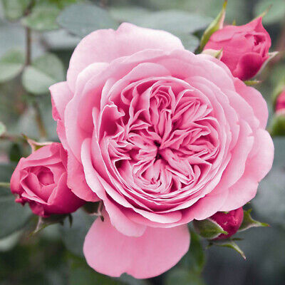 100PCS Double Peony Pink Rose Flower Seeds Bonsai Perennial Climbing Plants