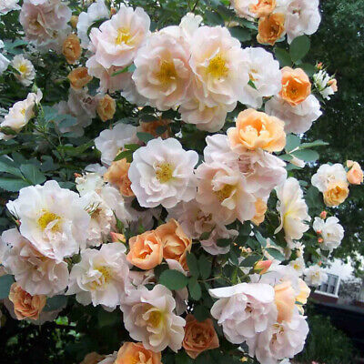 100PCS Mini Rose Flower Tree Seed Bonsai Garden Perennial Climbing Plants