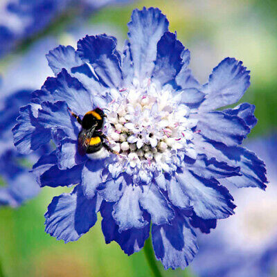 3 Garden Ready Plants Scabiosa caucasica - Isaac House Hybrids Blooms This Year