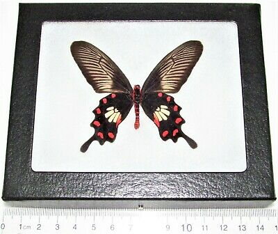 Real Framed Butterfly Pink Red Pachliopta Swallowtail Indonesia
