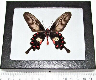 Real Framed Butterfly Pink Red Pachliopta Swallowtail Indonesia P3