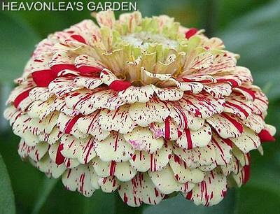 ZINNIA CANDY CANE COLOR MIX  Annual SEEDS