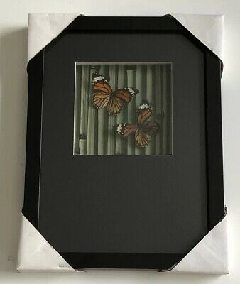 REAL Framed MONARCH subspecies butterfly MOUNTED SHADOWBOX INSECT taxidermy