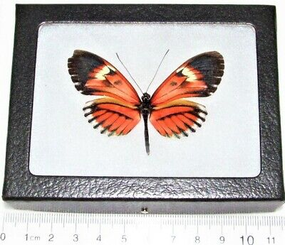 Real Framed Butterfly Pink Red Heliconius Longwing Ecuador