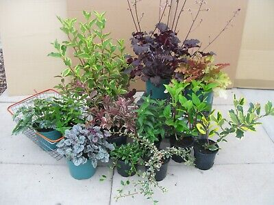 5X MIXED ESTABLISHED GARDEN SHRUBS-HIGH QUALITY HARDY GARDEN PLANTS FREE p&p